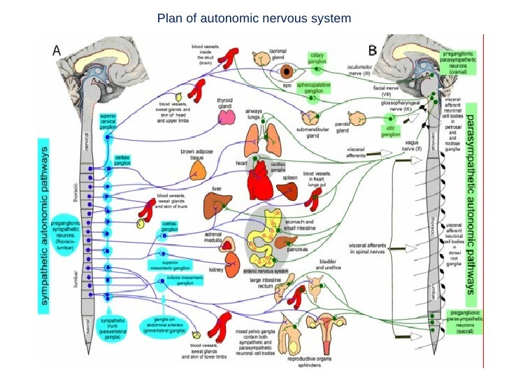 Anatomy Of Autonomic Nervous System