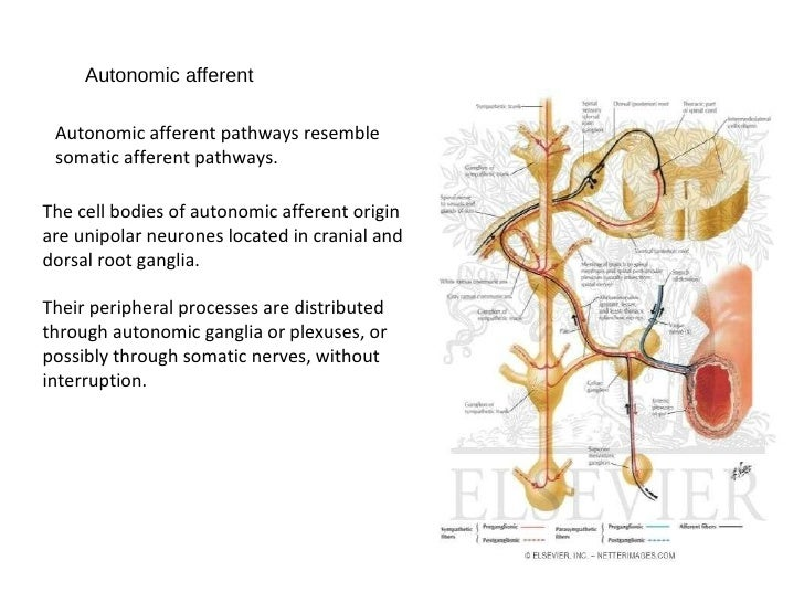 Anatomy of autonomic nervous system