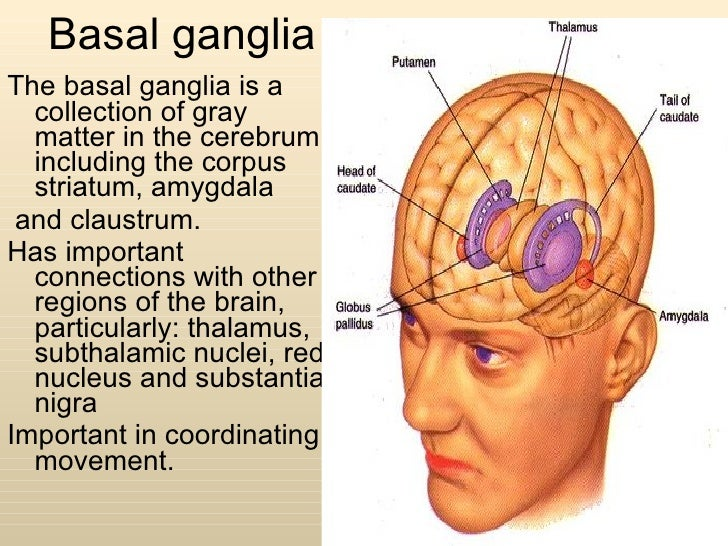 Anatomy Of Basal Ganglia on Earthworm Dissection With Labeled Body Parts
