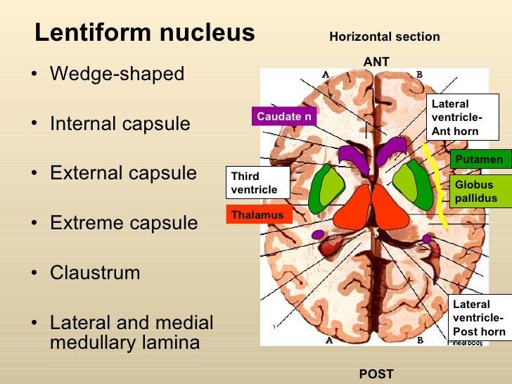 Anatomy Of Basal Ganglia