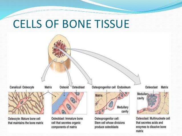 Cartilage and Bone - Indiana University