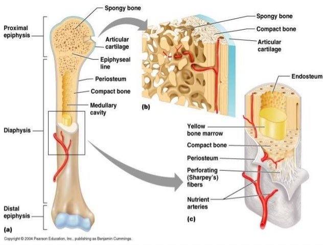 anatomy of bone and cartilage 1, Human Body