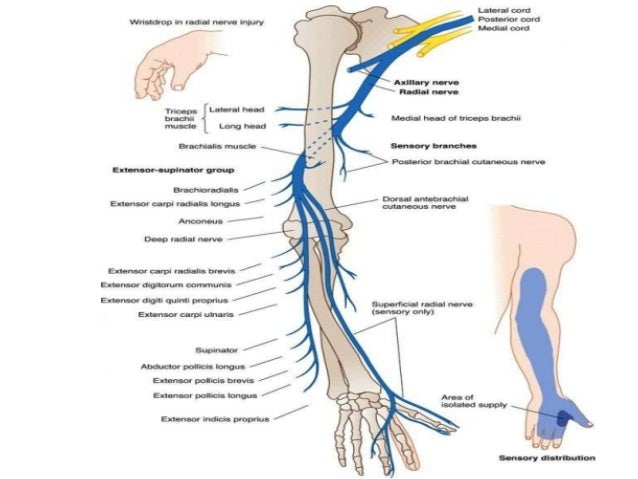 Upper Limbs - Anatomy Md1 with Podcheko at Saint James School Of ...