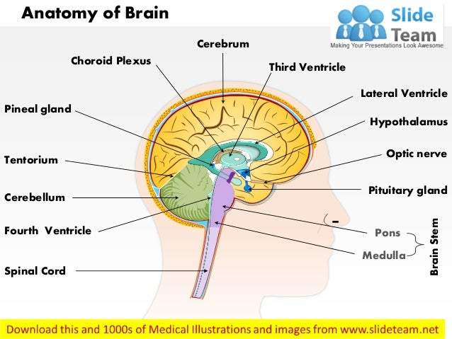Anatomy of brain medical images for power point