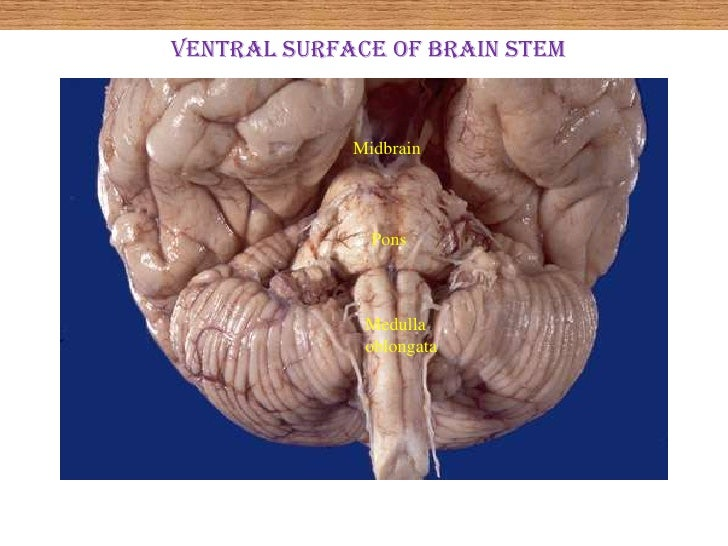 Human brain stem anatomy