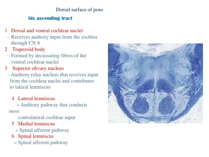 Anatomy of brainstem for Floor of 4th ventricle