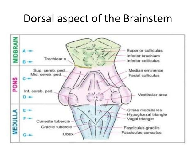 Anatomy of brainstem and its clinical significance