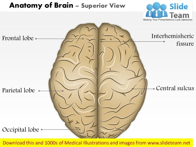 Anatomy of brain superior view Medical Images For PowerPoint
