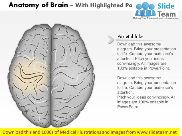 Anatomy of brain superior view medical images for power point