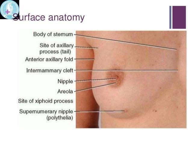 Anatomy of breast