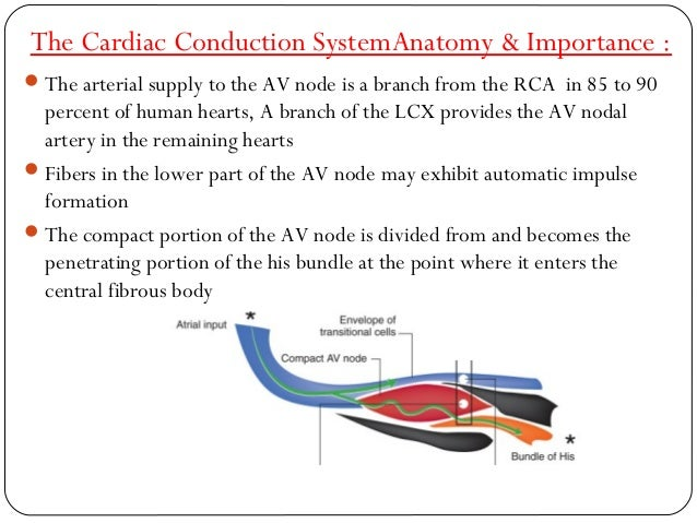 Anatomy Of Cardiac Structures Conducting System In