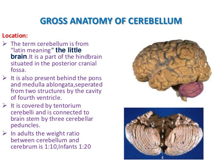 Anatomy of cerebellum