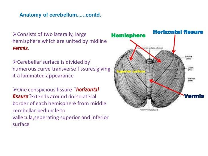 Anatomy of cerebellum Slide 3