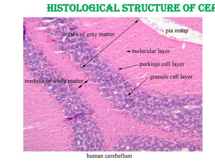 cerebellum purkinje cells foto bugil bokep 2017