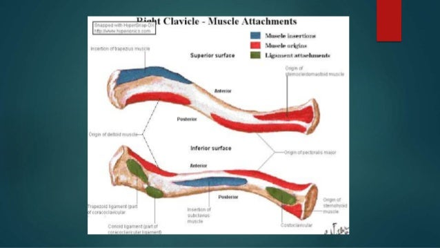 Anatomy Of Clavicle