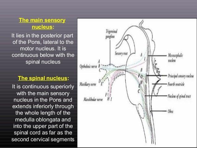 Anatomy Of Cranial Nerves 578