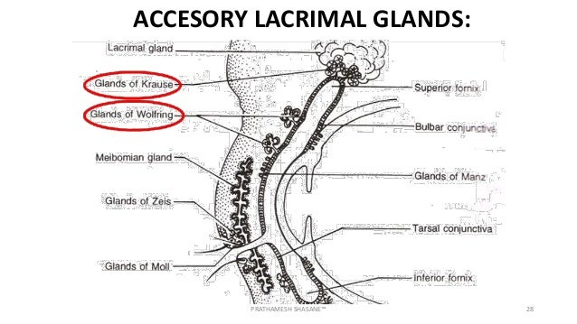 Anatomy Of Conjunctiva