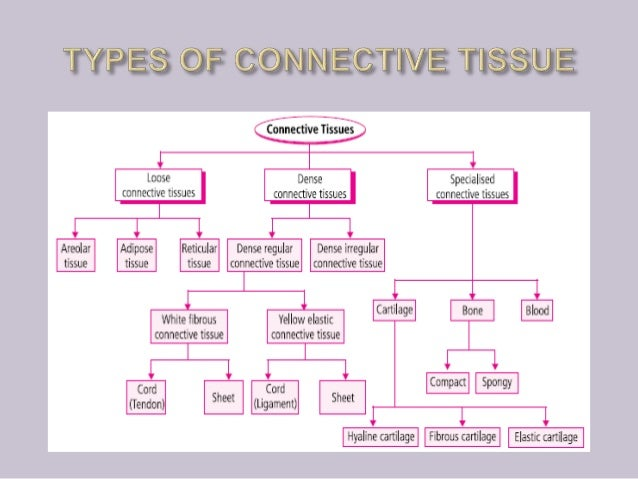 Anatomy Of Connective Tissue By Sk