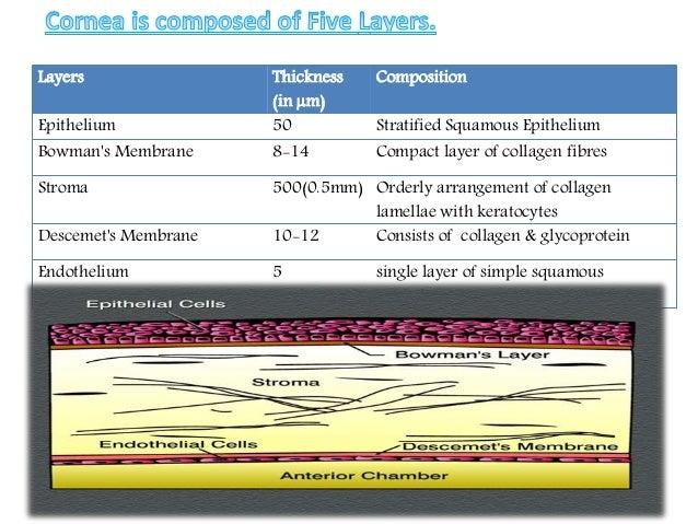 Anatomy Of Cornea Corneal Tranparency Drysr