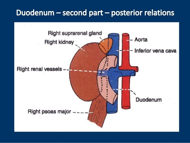 Anatomy of duodenum, duodenum structure, PPT of duodenum, power point…