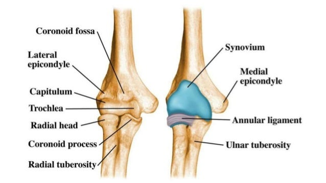 Anatomy Of Elbow And Intercondylar Fracture Of The Humerus