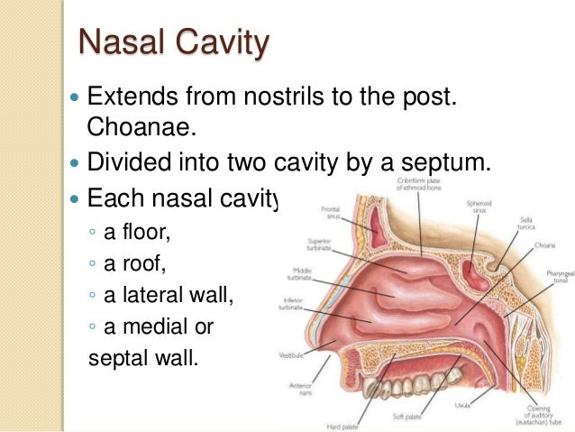Anatomy of nose and para nasal sinuses by dr md for Floor of nasal cavity