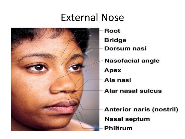 Anatomy of external nose by av sharma