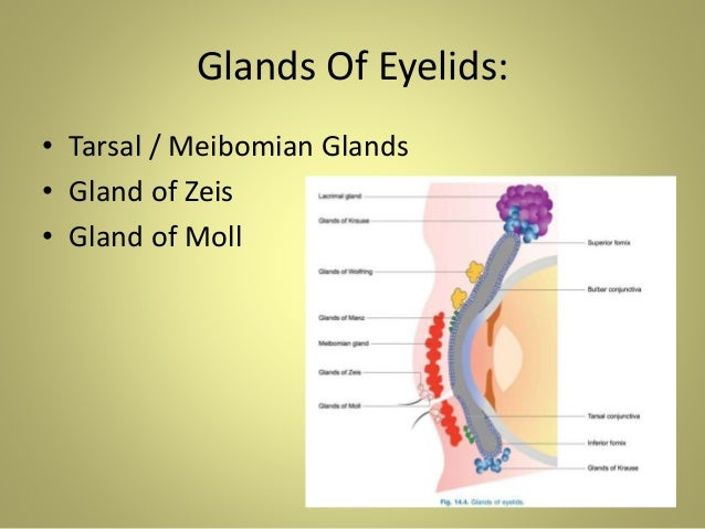 Anatomy Of Eyelids Amp Its Clinical Correlations