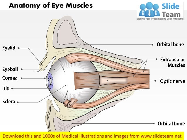 Anatomy Of Eye Muscles Medical Images For Power Point
