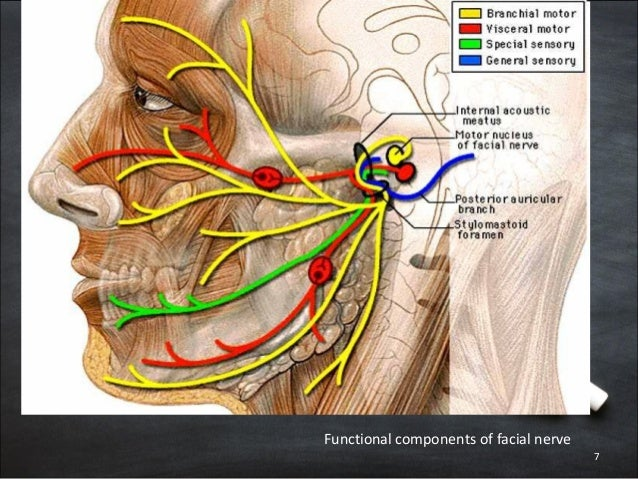 Surgical anatomy of facial nerve
