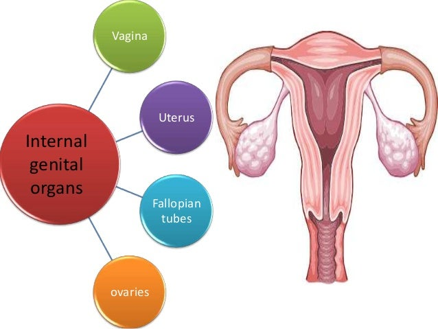 Anatomy Of Female Genital Tract