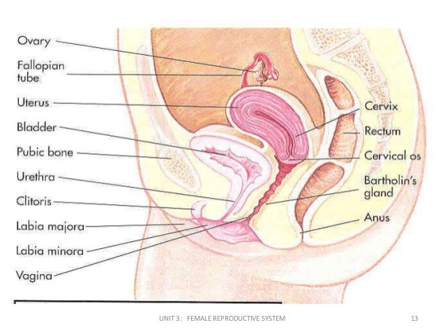 Diagram Of Bladder And Ovaries