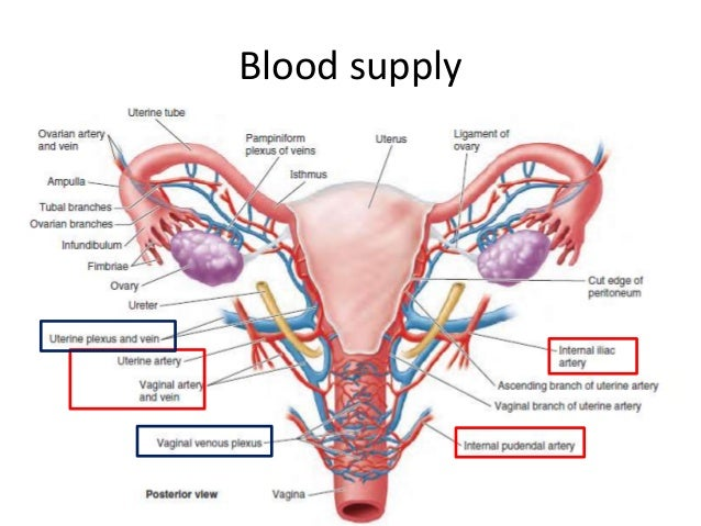 Anatomy Of Female Reproductive Organs