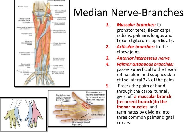 Anatomy of flexor compartment of forearm