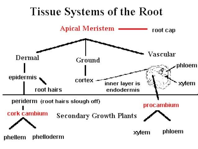 Flowering plant anatomy