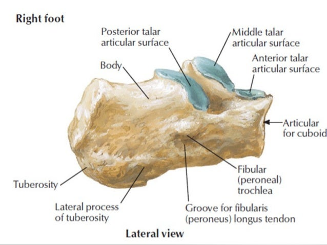 Anatomy of foot and ankle