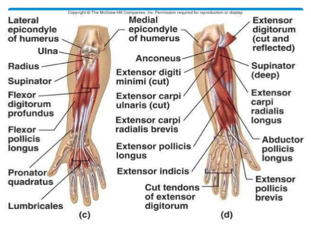 Anatomy Of Forearm