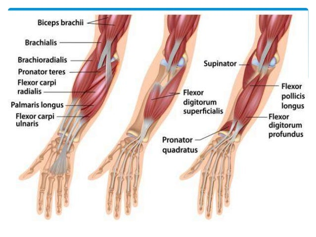 Forearm Muscle Diagram Chart - Block And Schematic Diagrams •