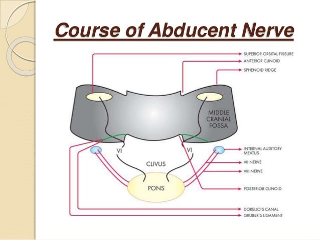 Anatomy Of Fourth And Sixth Cranial Nerve 061213