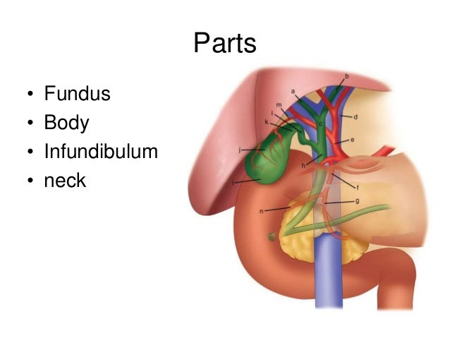 Anatomy Of Gall Bladder