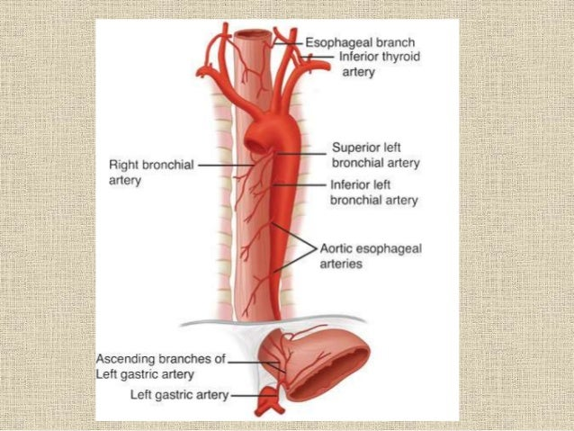 Anatomy of gastroesophagial junction with specail reference to hiatu…