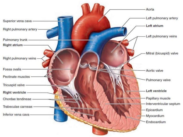 Detailed heart diagram right atrium auto electrical wiring diagram anatomy of heart rh slideshare net diagram of atria coronary circulation diagram ccuart Choice Image