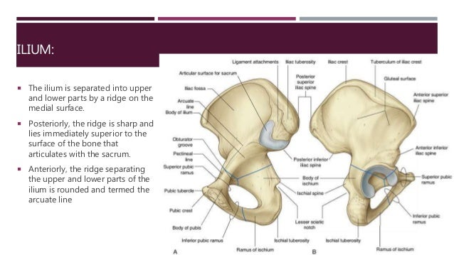 Anatomy of hip and lower limb bones