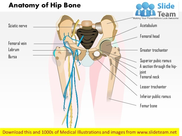 Anatomy Of Hip Bone Medical Images For Power Point