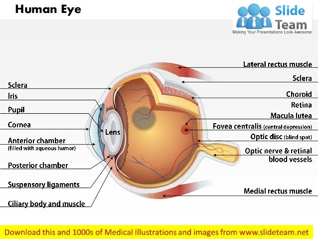 Anatomy Of Human Eye Medical Images For Power Point