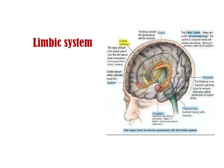 Anatomy Of Hypothalamus N Limbic System