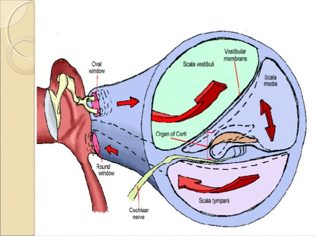 Anatomy of inner ear structure of macula ccuart Choice Image