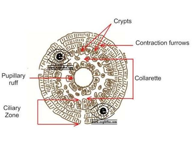 Anatomy of iris