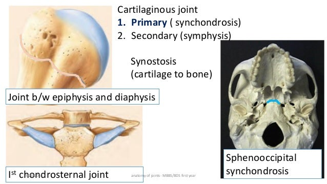 Anatomy Of Joints Synchondroses (anatomy) a joint in between articulating bones in which the connecting medium is a cartilage that is eventually converted into bone before. anatomy of joints
