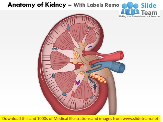Anatomy Of Kidney Medical Images For Power Point1